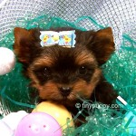 micro yorkshire terrier