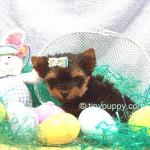 micro Yorkie puppy, teacup yorkie boy
