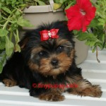 teacup Yorkie, Yorkshire Terrier