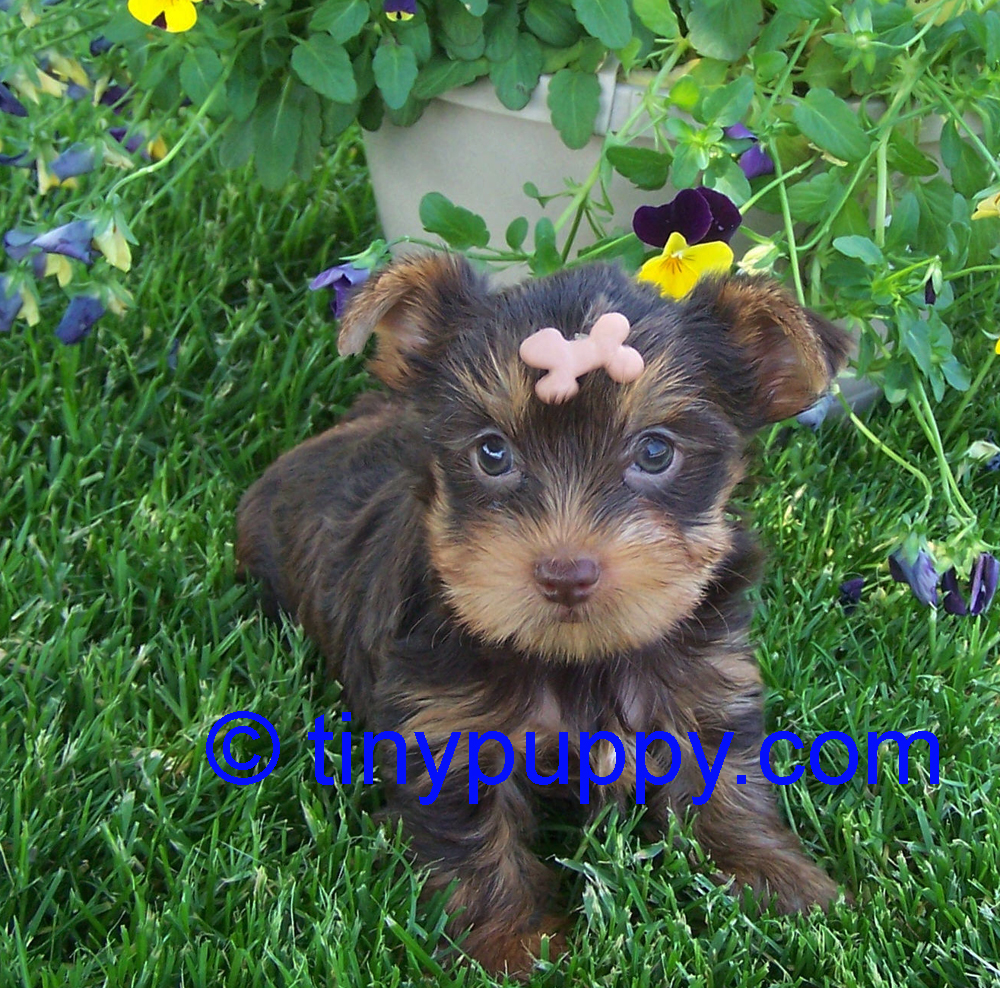Photo Gallery of tinypuppy.com Teacup Yorkie Puppies | Tinypuppy