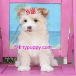gold dust yorkie, gold dust yorkshire terrier