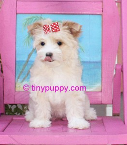 Gold Dust Yorkie Goldilocks Tinypuppy