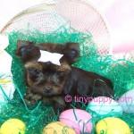 tiny yorkie, teacup yorkie puppy