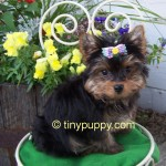 teacup yorkie, yorkie, yorkshire terrier puppy