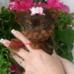 Golden Sable Teacup Yorkie