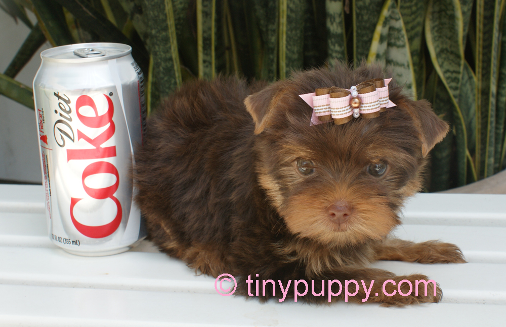 Photo Gallery Of Tinypuppy Teacup Yorkie Puppies Tinypuppy