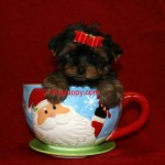 Teacup Yorkie puppy, tiny Yorkie puppy
