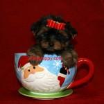 Teacup Yorkie puppy, tiny Yorkie puppy