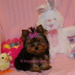 teacup yorkies puppies for sale