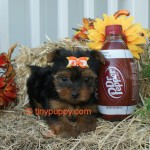 Black and Tan Yorkie, Yorkshire Terrier Puppy