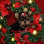 teacup yorkie, yorkie, yorkshire terrier