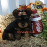 teacup yorkie, yorkie puppies, yorkshire terrier