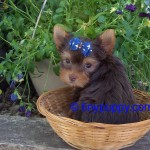 Dark Chocolate Yorkie, Chocolate Teacup Yorkie