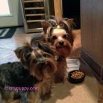 tinypuppy Yorkie Puppies
