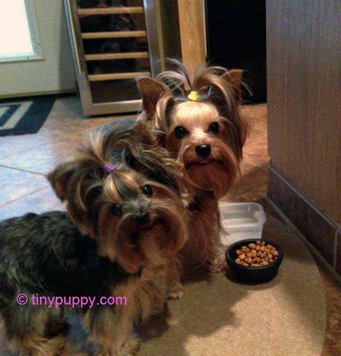 tinypuppy Yorkie Puppies