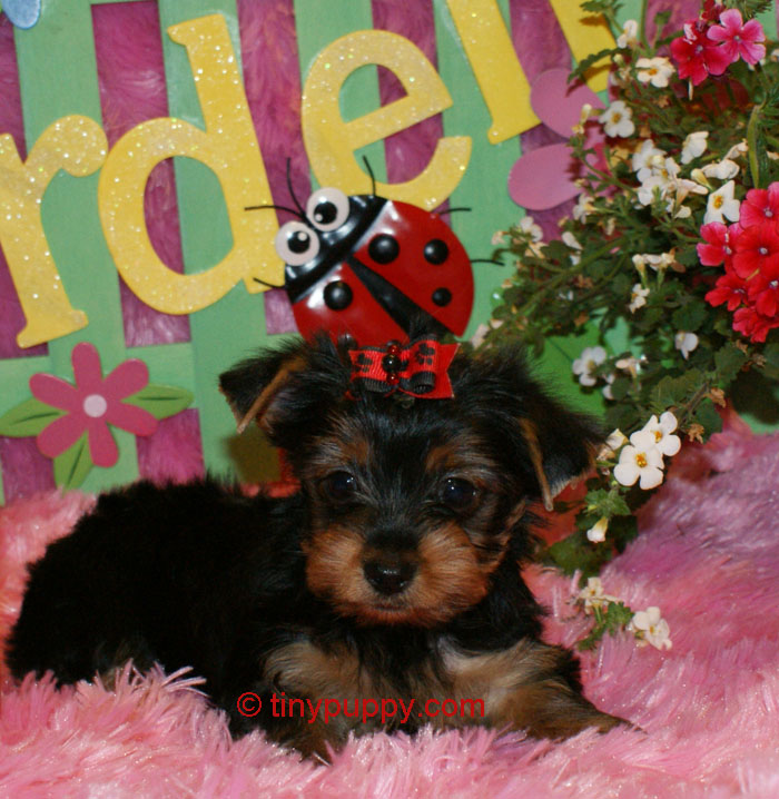 little yorkshire terrier, tiny Yorkshire Terrier