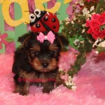 teacup puppy, tiny teacup puppy for sale