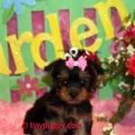 teacup yorkie, tiny yorkie puppy