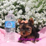 teacup yorkie, teacup yorkies