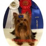Champion Yorkie Sire, Champion Sire