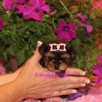 micro yorkie, yorkshire terrier