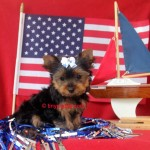 teacup yorkie, tiny yorkie puppy