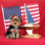 teacup yorkshire terrier, teacup yorkie