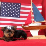 Yorkie Puppy, teacup yorkie