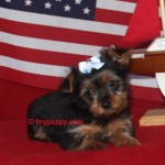 Chocolate Yorkie, Teacup yorkie, tinypuppy