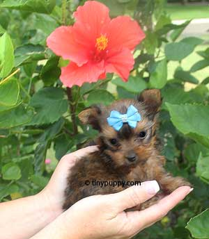 sable teacup yorkie, golden sable yorkie, sable yorkshire terrier