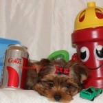 teacup sable yorkshire Terrier , Golden Sable Yorkshire Terrier