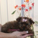 Sable Yorkie, Golden Sable Yorkie, Sable Yorkshire Terrier