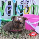 Sable Yorkie, Golden Sable Yorkie, Sable Puppy