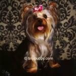 Golden Sable Yorkshire Terrier, Sable Teacup Yorkie