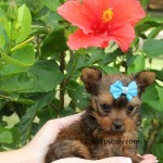 golden yorkie puppy, golden sable teacup yorkie, sable teacup yorkie