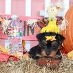 teacup yorkshire terrier, yorkie