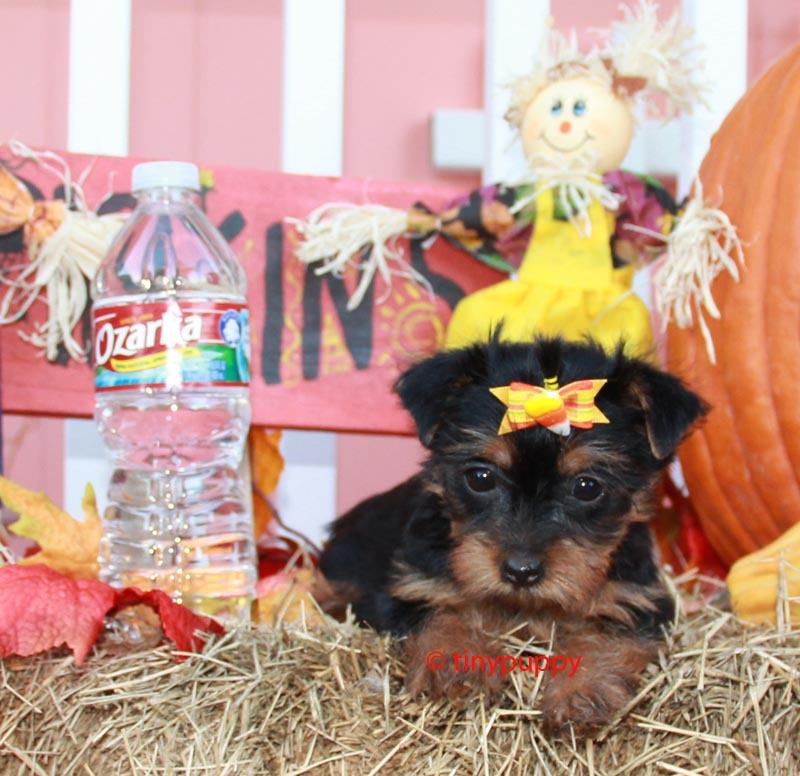 tiny yorkie, teacup yorkie, tinypuppy