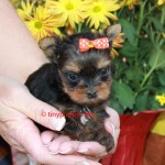 Micro Yorkshire Terrier, teacup Yorkie, tinypuppy.com