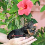 Micro Yorkshire Terrier, teacup Yorkie, tinypuppy, teacup yorkshire terrier