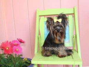 tiny yorkie, teacup yorkie, black and tan teacup yorkie