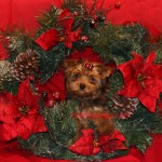 golden sable yorkshire terrier, sable yorkie, golden sable yorkie,