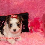 biewer yorkie puppy for sale. teacup biewer, tinypuppy