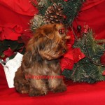 golden sable yorkshire terrier, sable yorkie,
