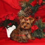 sable yorkie, golden sable yorkie,