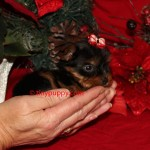 Micro yorkshire Terrier, Teacup Yorkie puppy, tinypuppy, tiny yorkie