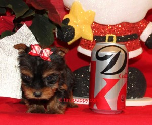 micro yorkie, teacup yorkie, micro yorkshire terrier, tinypuppy