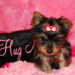 teacup yorkie, tiny yorkie, yorkie baby girl
