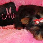 tiny puppy, teacup yorkie, tiny yorkie