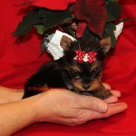 teacup boy yorkie, tiny yorkie puppies for sale, adopt a yorkie, tinypuppy