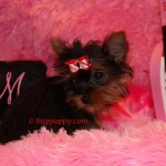 1 lb yorkie puppy, tiniest puppy, tinypuppy, tiny puppy
